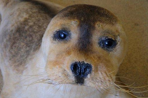 Howler, Face, Robbe, Seal, Meeresbewohner, Nature