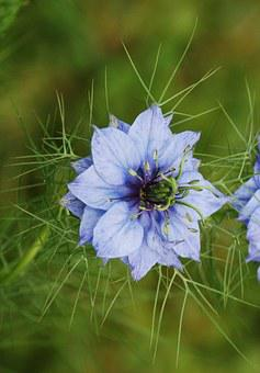 Nigella Damascena, Love In A Mist, Ragged Lady, Flower