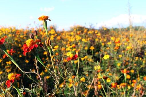 Meadow, Marigold, Blossom, Bloom, Plant, Flower, Orange