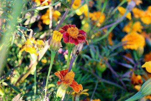 Flowers, Marigold, Marigolds, Turkish Carnation