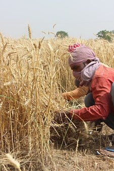 Wheat Fields, Punjab, Patiala, Men, Farmer, India