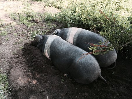 Pig, Saddleback Pigs, Animal, Saddleback, Farmyard