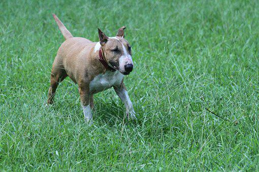 Bull Terrier, English, Bully, Dog, Red, White, Green