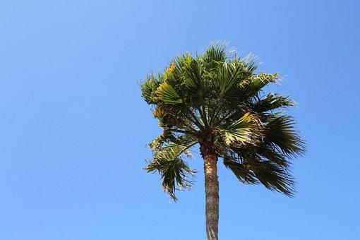 Palm, Tree, Sky, Blue, Wind, Palm Tree, Tropical