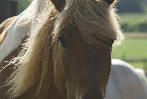 Horse, Animal, Equine, Farm, Brown, White, Mane, Ears