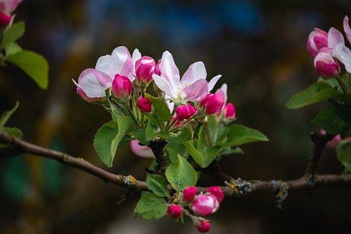 Apple Tree, Flowers, Apple Blossoms, Branch, Bloom