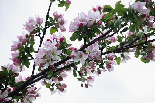 Apple Tree, Flowers, Pink Flowers, Apple Blossoms