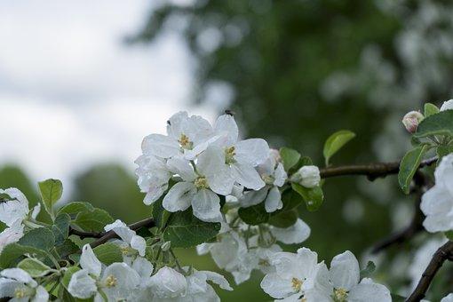 Apple Tree, Flowers, White Flowers, Apple Flowers