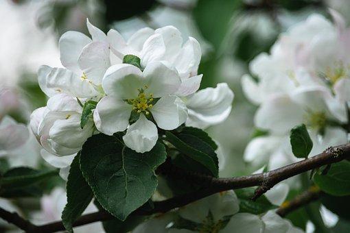 Apple Tree, Flowers, White Flowers, Close Up