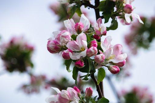 Apple Tree, Flowers, Apple Blossoms, Pink Flowers