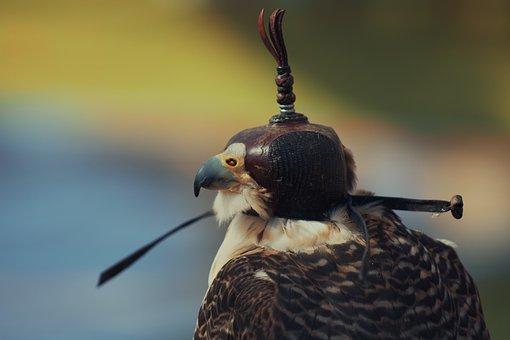 Bird, Falcon, Avian, Feathers, Beak, Wild, Animal