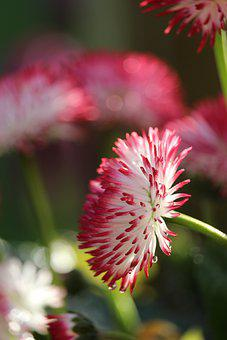 Daisy, Flower, Plant, English Daisy, Bellis, Petals