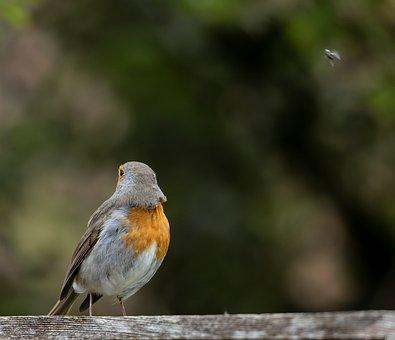 Robin, Bird, Animal, Perched, Robin Redbreast