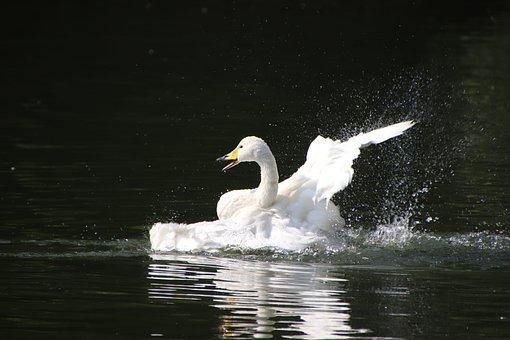 Swan, Bird, Lake, Anatidae, Water Bird, White Swan