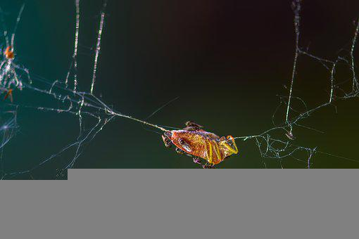Bug, Trapped, Cobweb, Caught, Insect