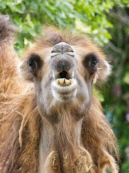 Camel, Mammal, Hump, Desert, Desert Ship, Paarhufer