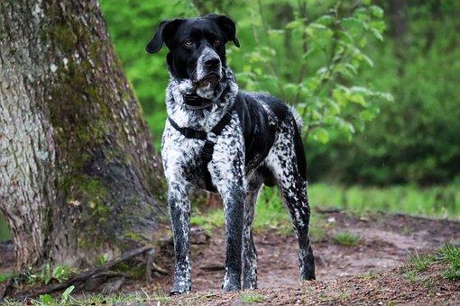 German Shorthaired Pointer, Dog, Pet, Animal
