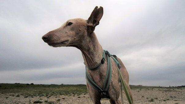 Dog, Podenco, Pet, Pharaohs Dog, Hunting Dog, Race