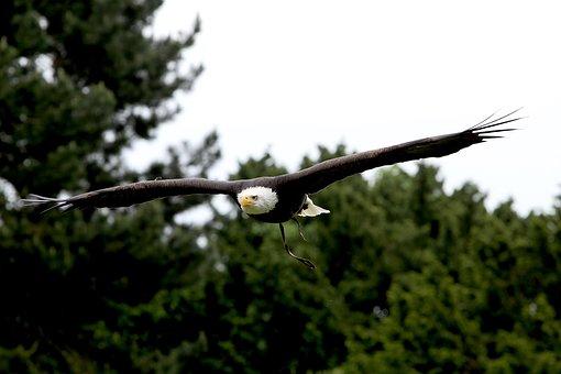 Bird, Eagle, Flight, Raptor, Predator, Wildlife