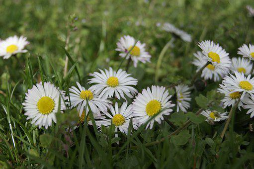 Daisy, Bellis Philosophy, Spring, Flowers, Flora, Plant