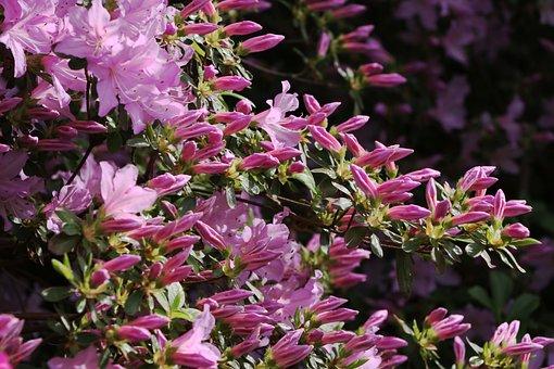 Azalea, Shrub, Bush, Bloom, Flower, Flowers, Blooming