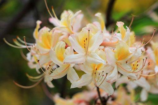 Flowers, Flower, Bloom, Blooming, Inflorescence, Azalea