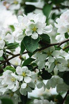 Apple Tree, Flowers, White Flowers, Apple Blossoms