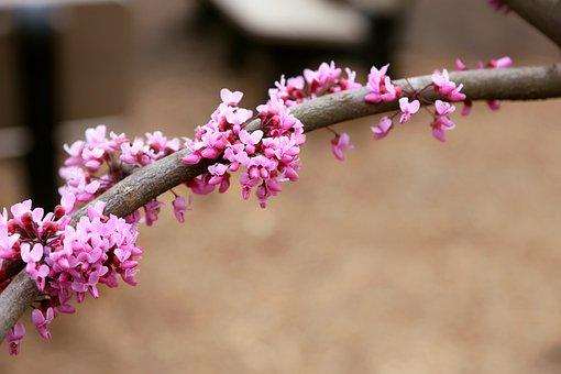 Virginia, Forest, Redbud, Nature, Spring, Branch, Pink