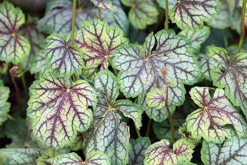 Colorful Leaf, Green, Red, Nerves, Veins, Garden