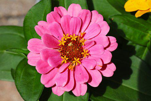Flower, Bloom, Pink, Yellow, Rust, Green, Potted Plant