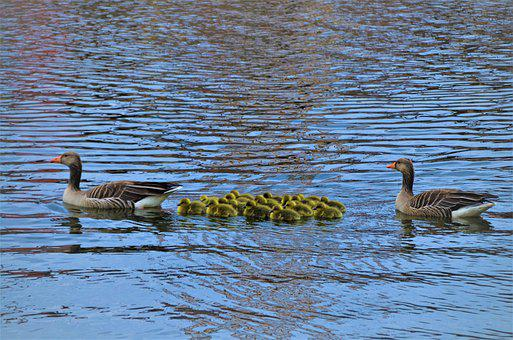 Family Outing, Grey Geese, Gosling, Canada Geese
