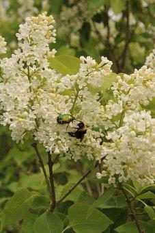 Beetle, Hummel, Insect, Garden, Nature, Nectar, Honey