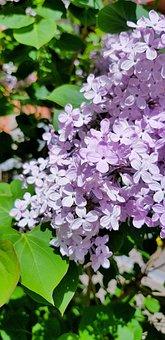 Lilacs, Purple, Flowers, Inflorescence, Purple Flowers