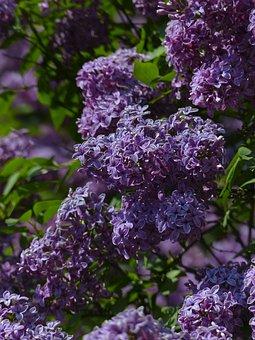 Lilacs, Flowers, Purple, Purple Flowers, Petals