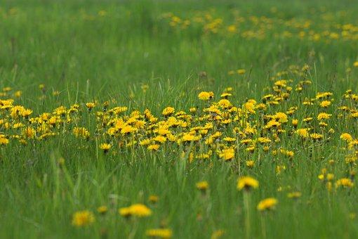 Flowers, Dandelions, Grass, Meadow, Field, Plant