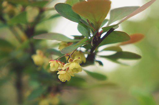 Barberry, Flowers, Branch, Yellow Flowers, Petals