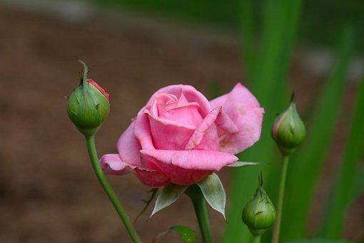Rose, Pink, Bloom, Flower, Buds, Garden, Backyard