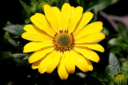 African Daisy, Flower, Plant, Osteospermum