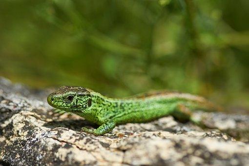 Lizard, Sand Lizard, Reptile, Scales, Green, Male
