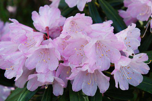 Rhododendron, Flowers, Plant, Pink Flowers, Petals