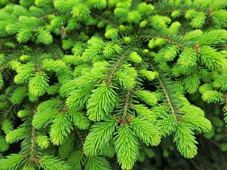 Spruce, Birds Nest, Green, Shrub, Spring Growth, Forest