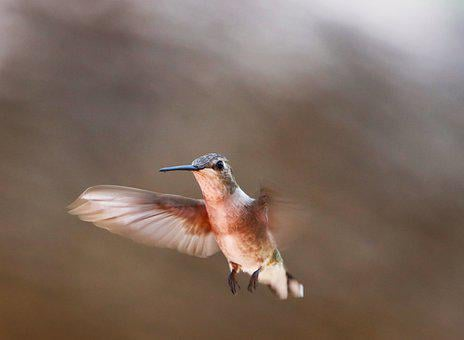 Hummingbird, Flying, Green, Brown, Tan, Bird, Wildlife