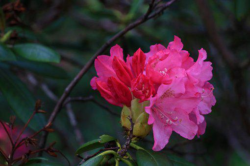 Rhododendron, Inflorescence, Flowers, The Buds, Flower