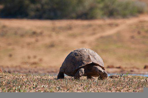 Turtle, Tortoise, Reptile, Shell, Slowly, Africa