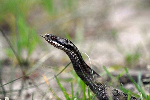 Snake, Viper, Venom, Reptile, Bite, Toxins, Danger