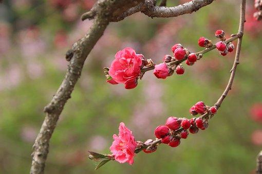 Peach Blossoms, Flowers, Branch, Petals, Peach Flowers