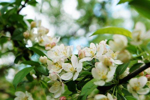 Apple Blossoms, Flowers, Branch, White Flowers, Petals