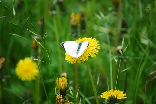 Butterfly, White Long Butterfly, Dandelions, Pollinate