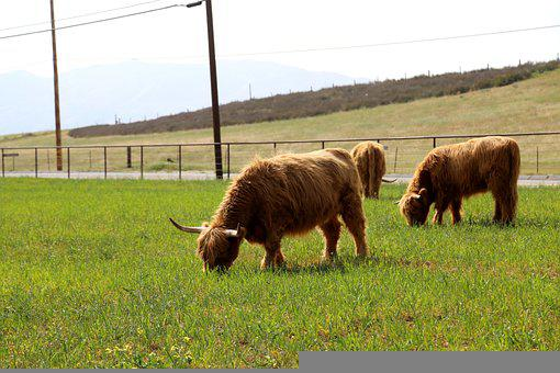 Cow, Highland, Cattle, Animal, Nature, Livestock, Horns