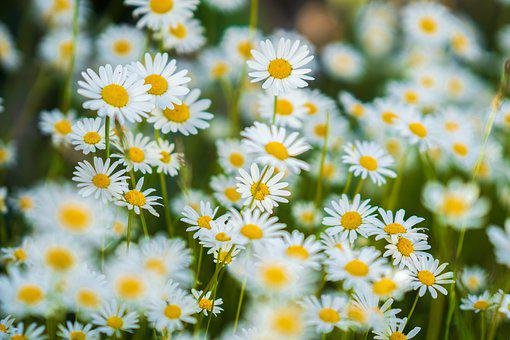 Daisies, Flowers, Meadow, Common Daisies, White Flowers